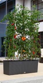 Tomate en LECHUZA TRIO